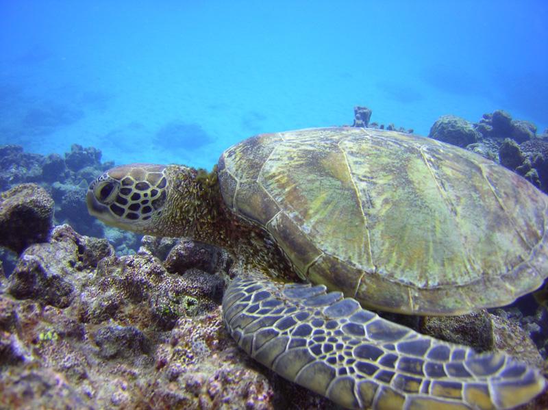 cook islands turtle